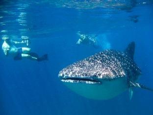 diva resort spa resort maldives - whale shark